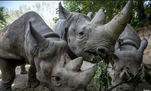 Resultado de imagen para Rinocerontes en peligro de extinción llegan a parque en Ruanda